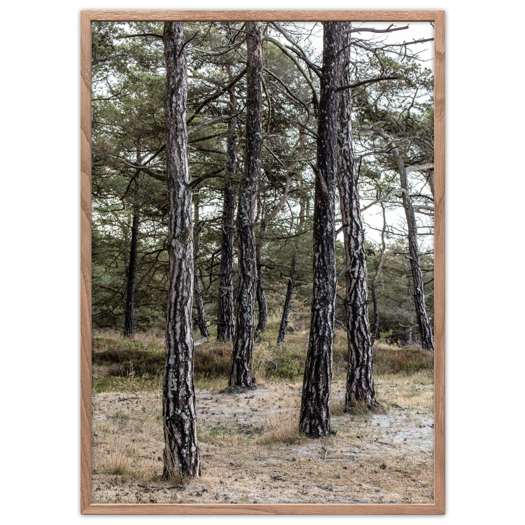 fyrretræer plakat