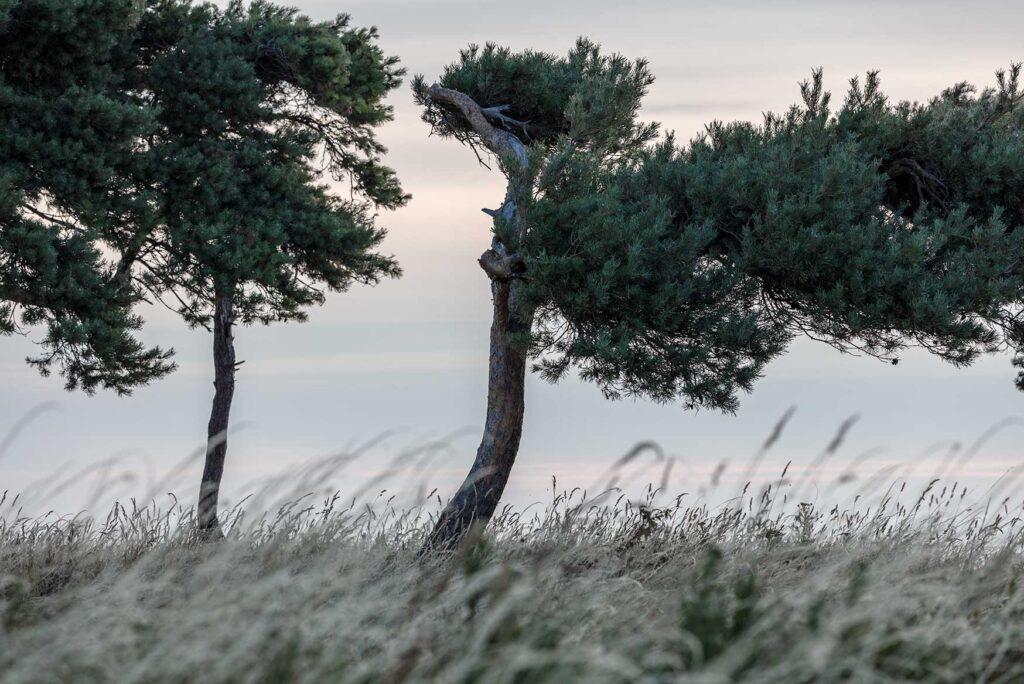 Fyrretræer fotokunst